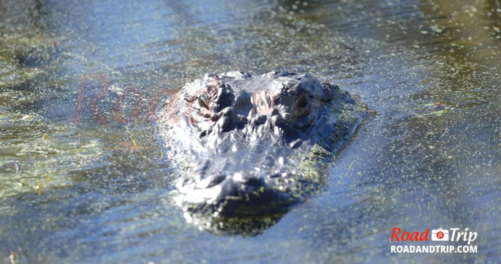 Alligator vu de très près