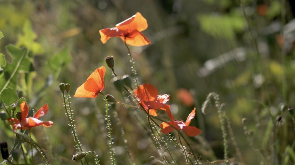 Fleur typique de la Vallée de Joux