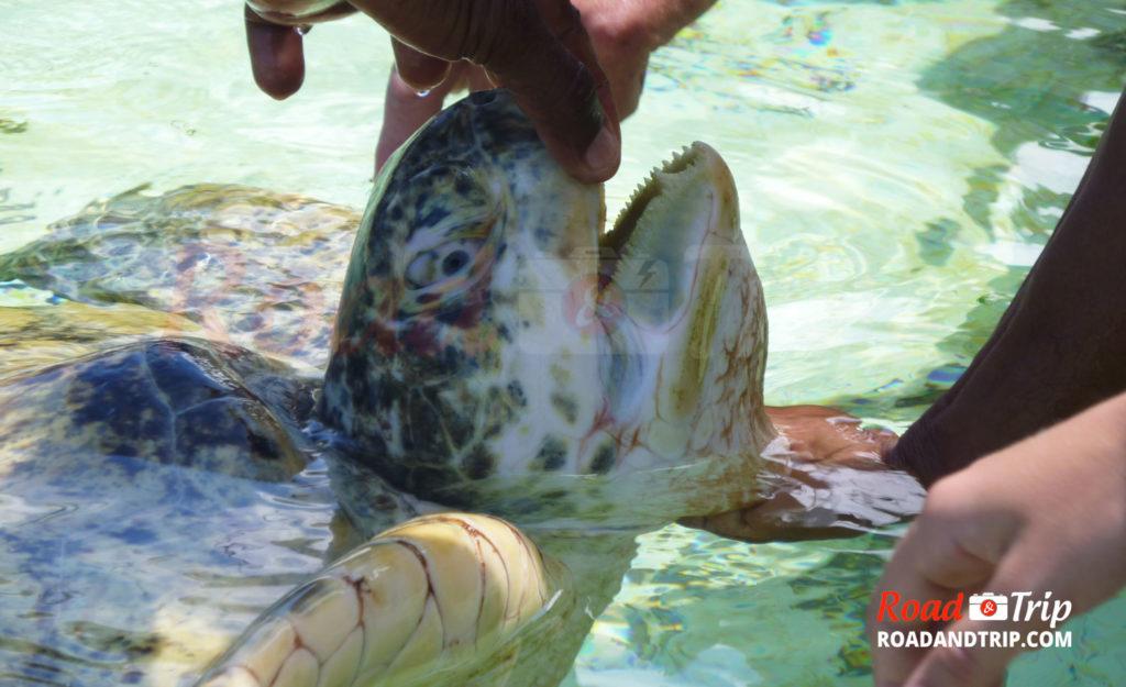 Le guide inspecte une tortue marine