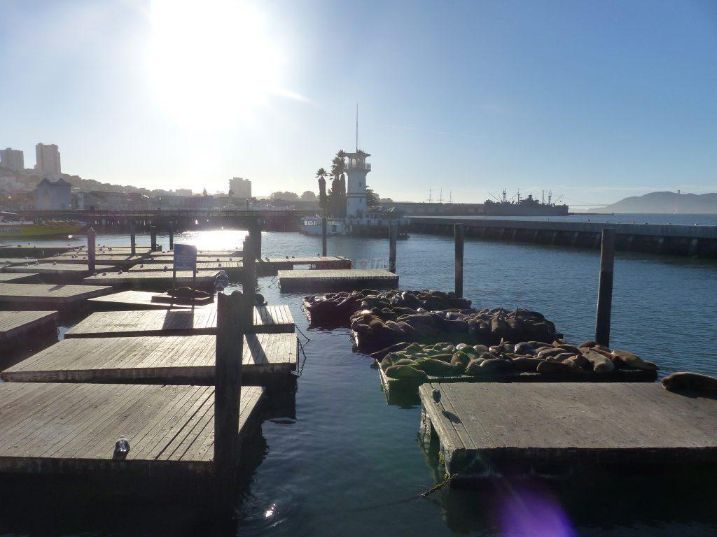 Les phoques de San Francisco