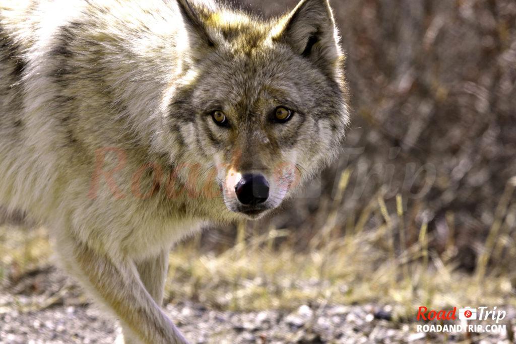 Loup de Chabrières