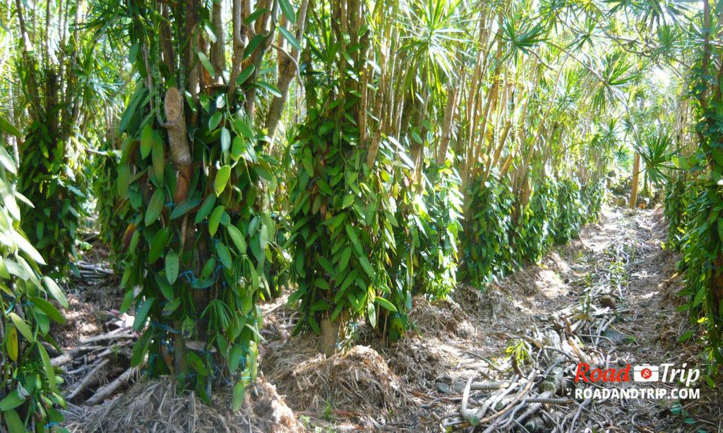 Plantation extérieure de vanille