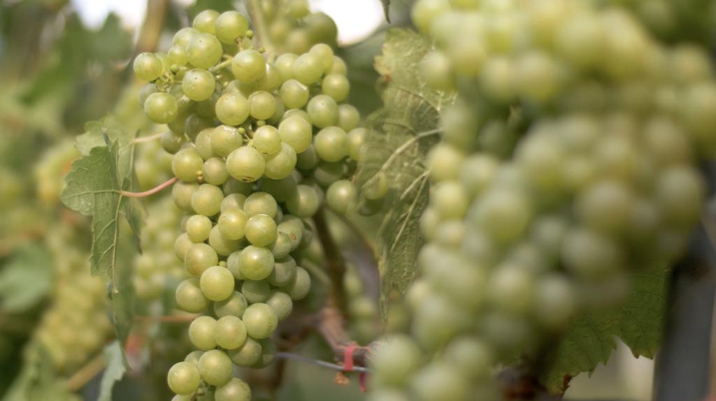 Raisin dans les vignes de Lavaux
