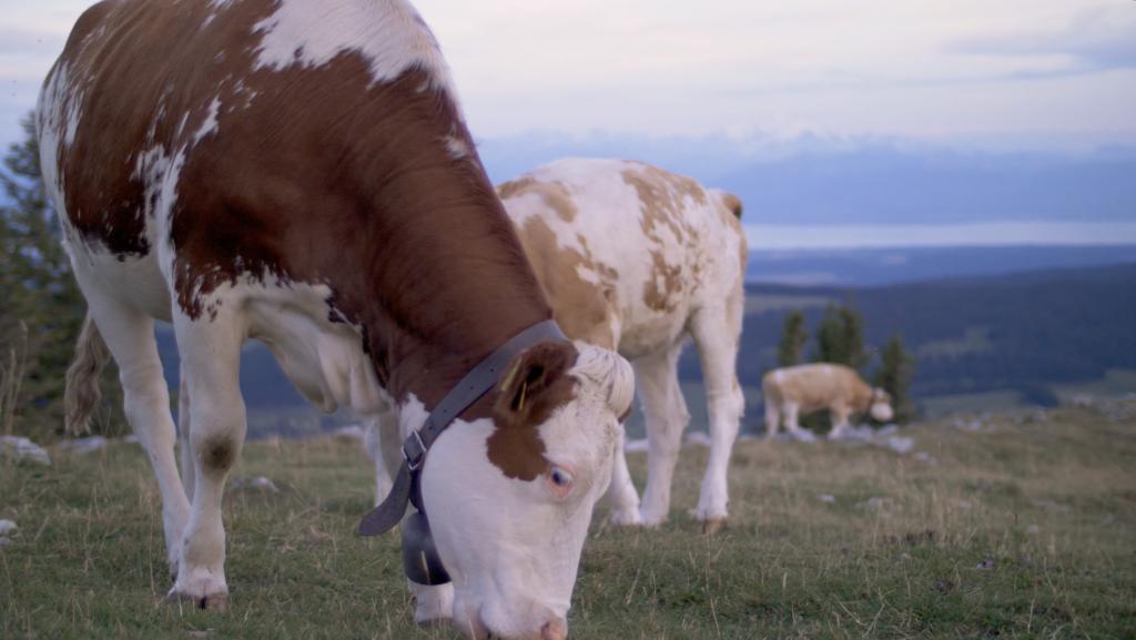 Vache suisse sur la Dent de Vaulion